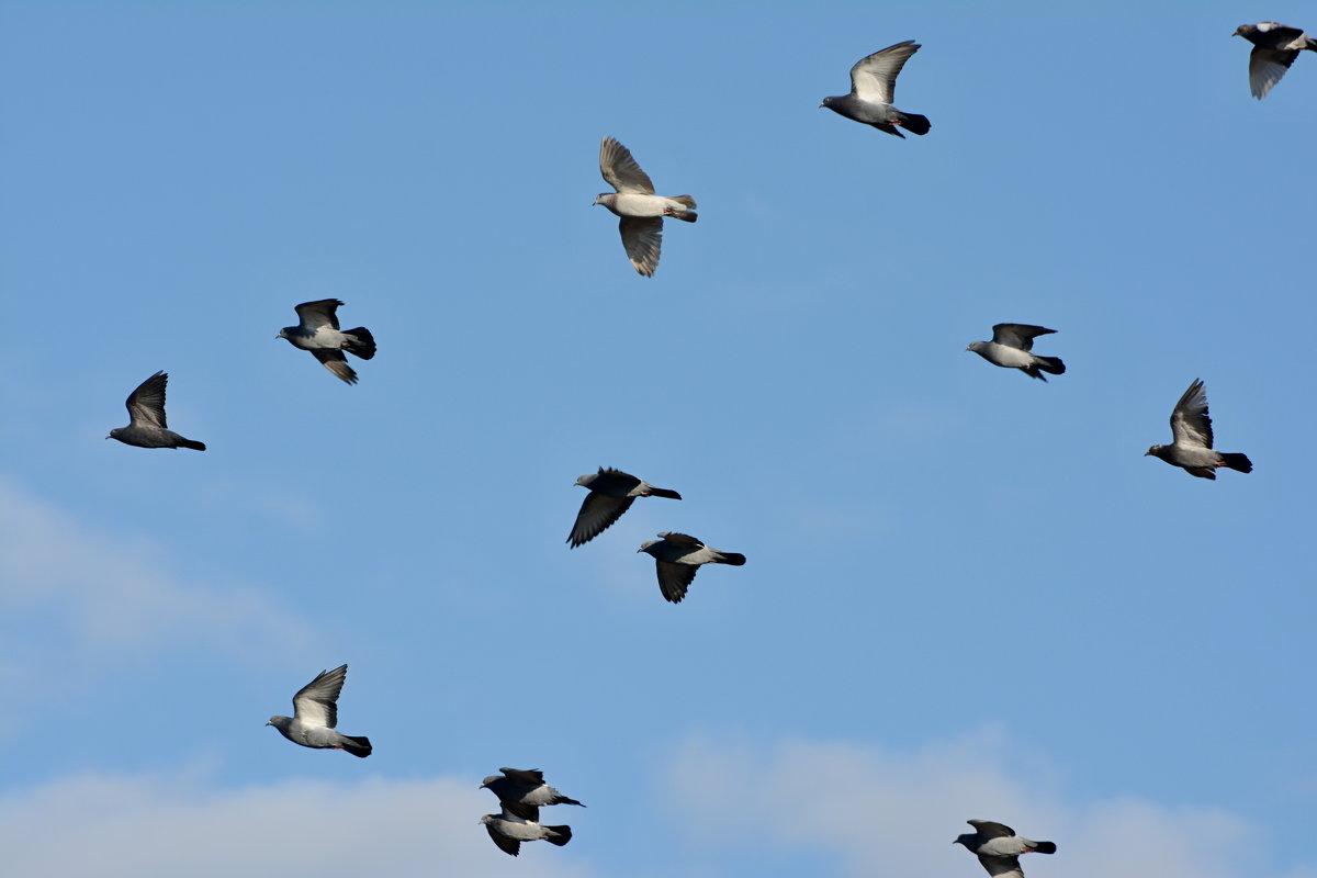 летите голуби, летите! - linnud