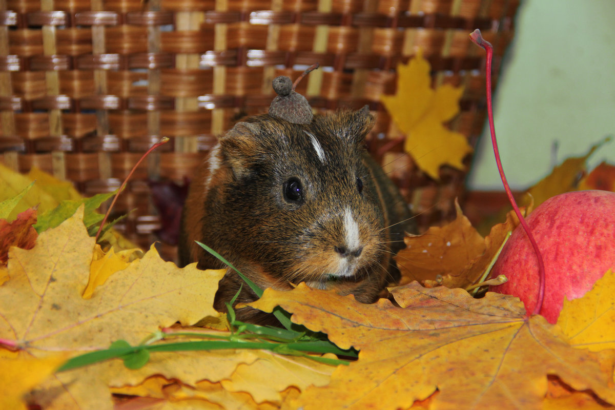 Морская свинка в кленовых листьях - Ольга Вишневская
