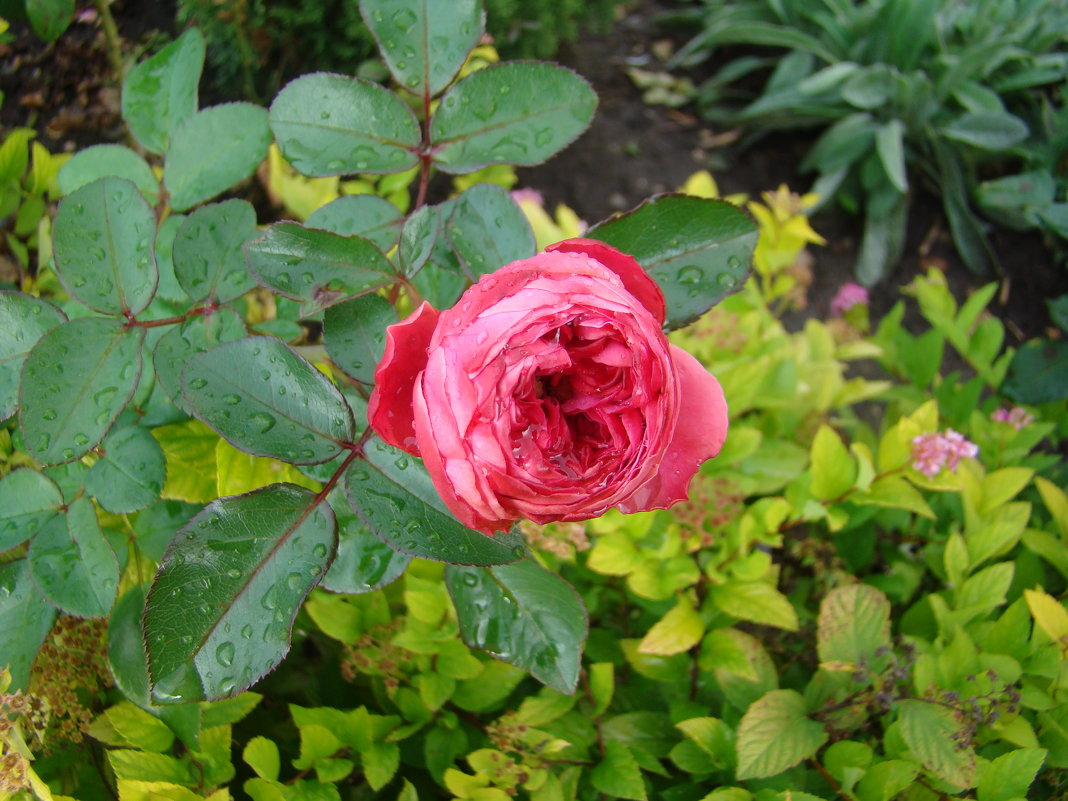 Роза под дождем - марина ковшова