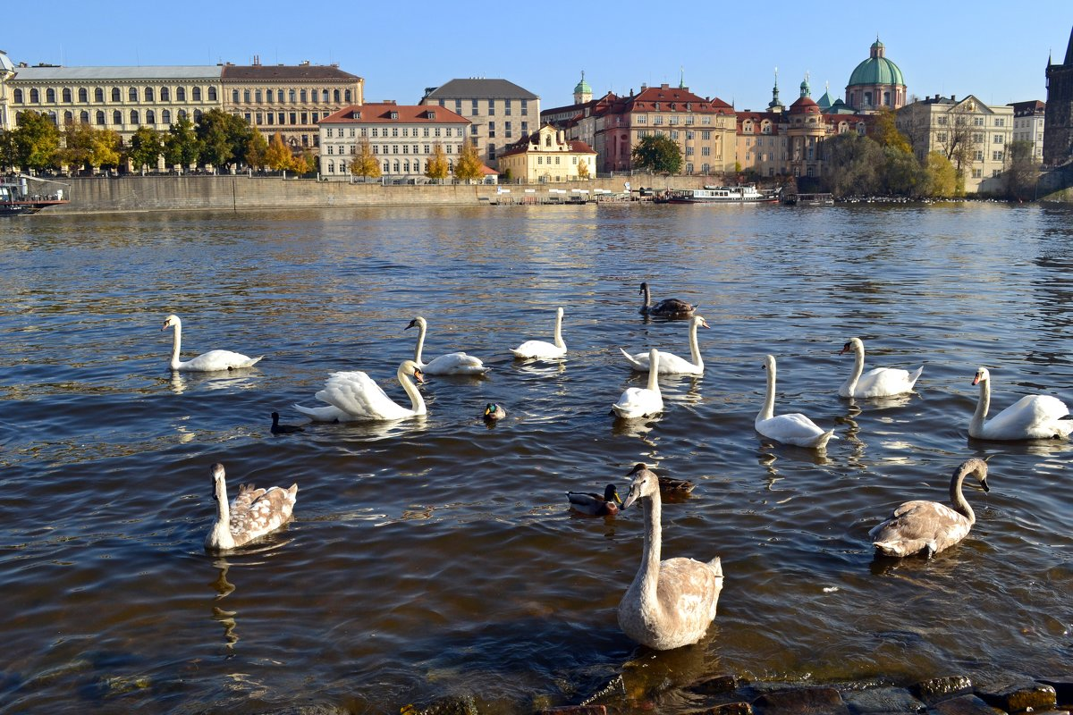 Лебеди на Влтаве - Ольга