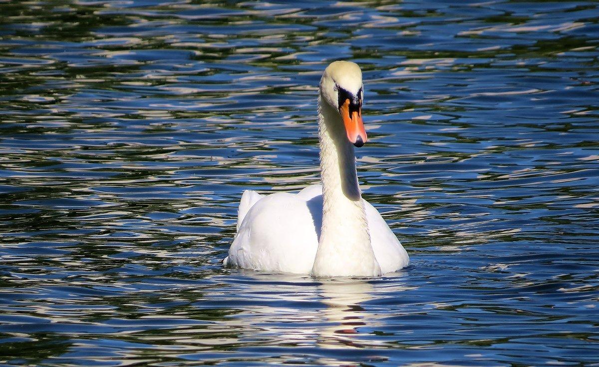 а белый лебедь на пруду.. - валя