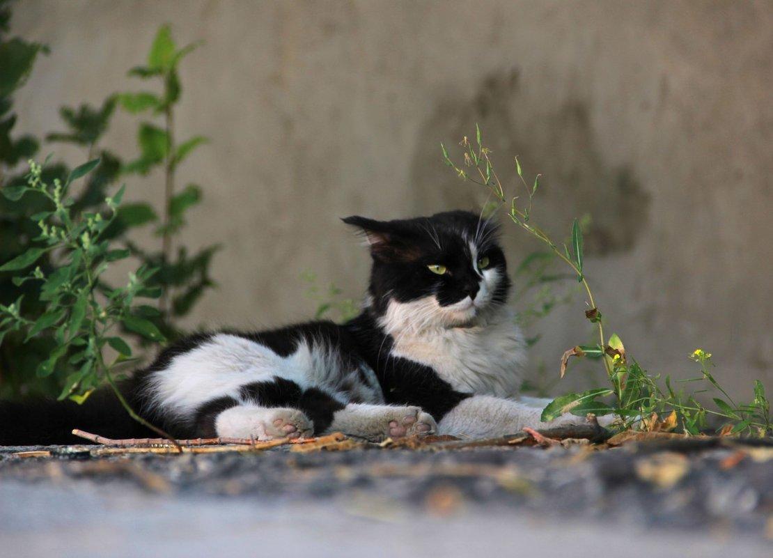 Черно-белый кот - Elena Kashmareva