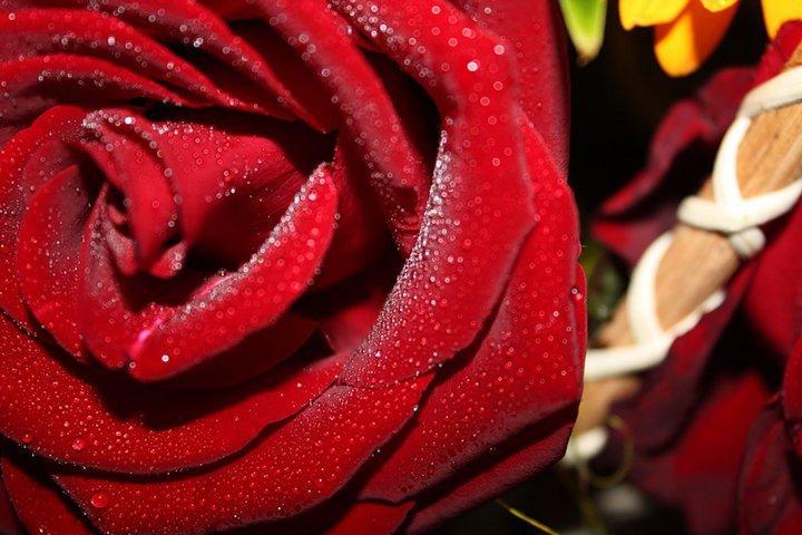 роза - Таня