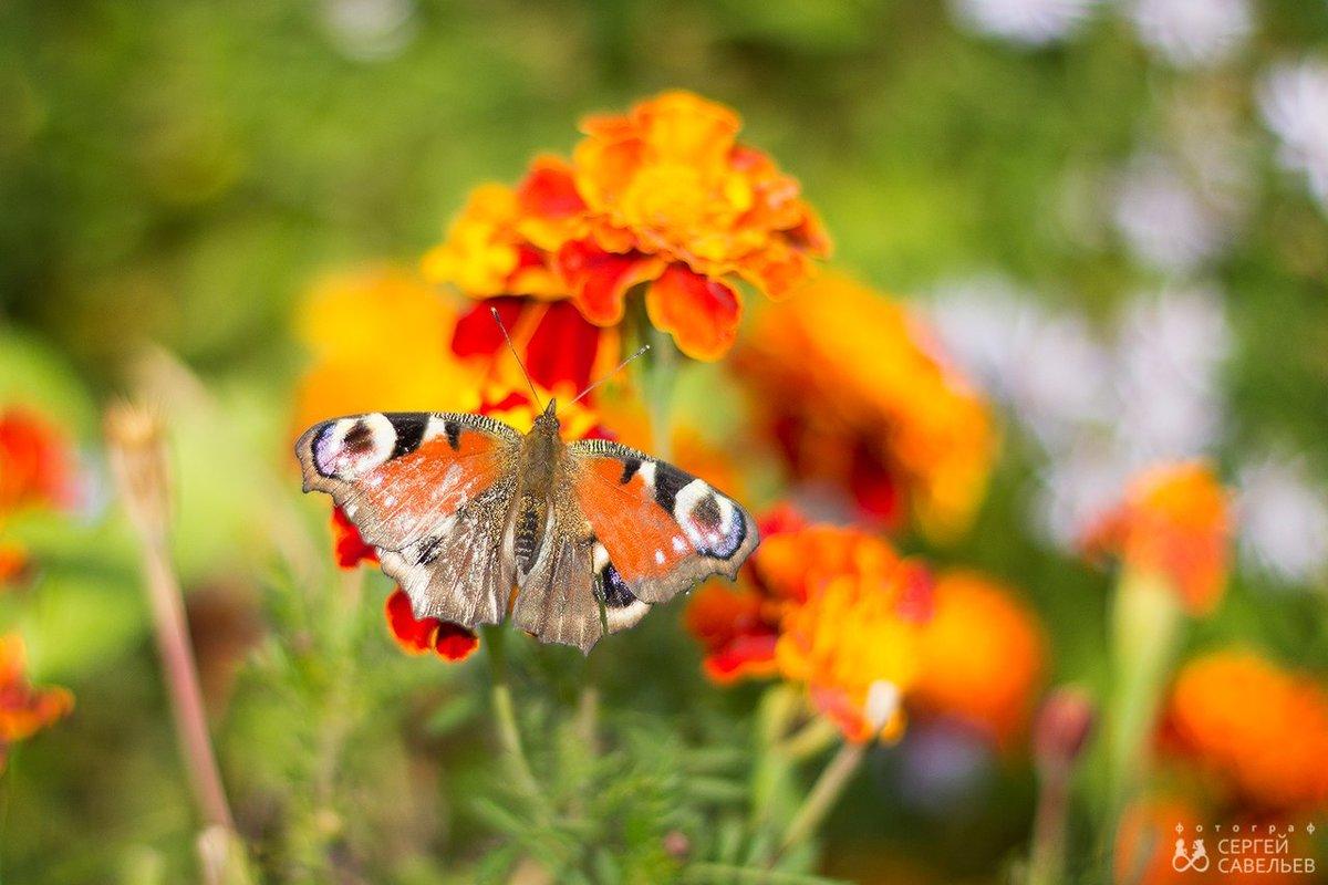 Бабочки в октябре не только в животе - Сергей Савельев