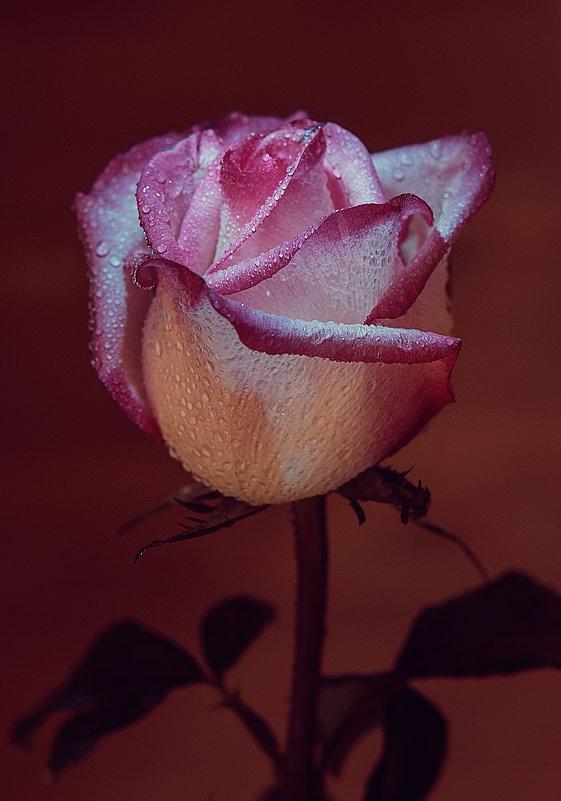 Цветы всегда и розы тоже! - Сергей Бурлакин
