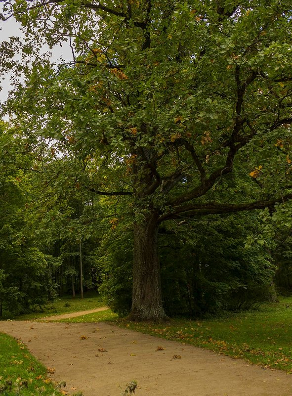 Старый дуб - Александр
