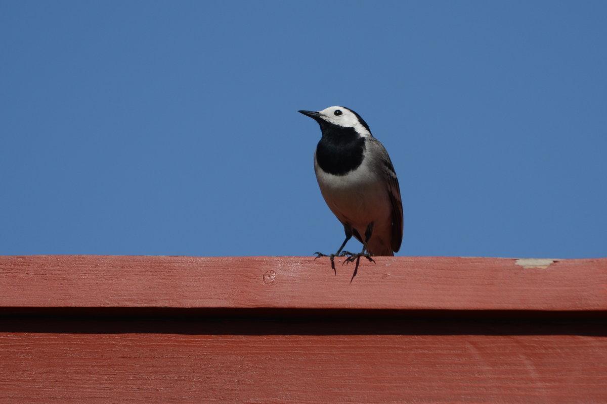 трясогузка - linnud