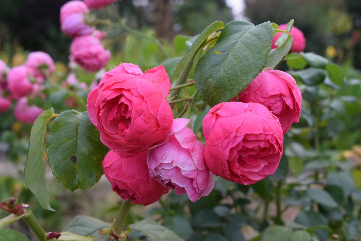 Осенние розы. - Лилия Дмитриева