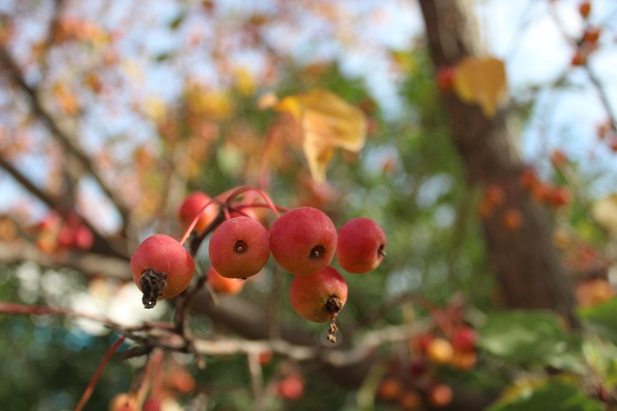 яблонька дичка - игорь