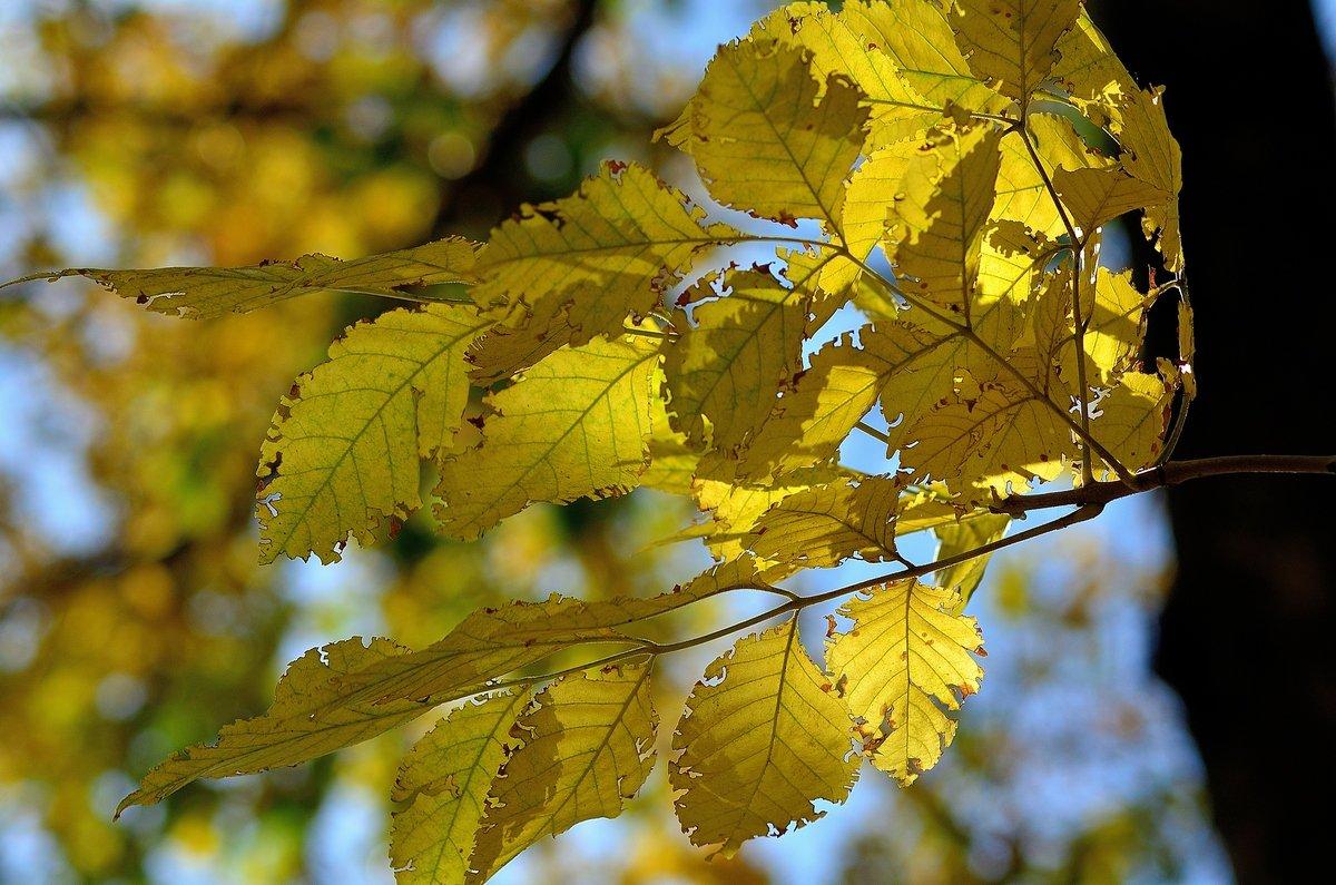 Жёлтые листья.. - Юрий Анипов