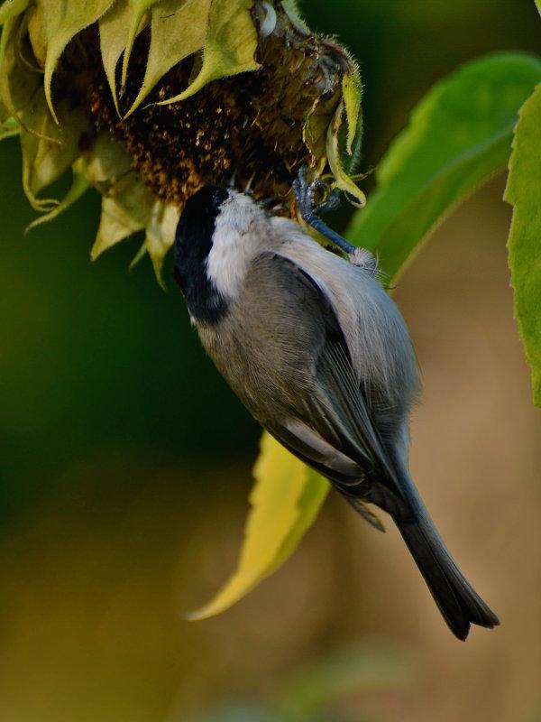 пухляк - linnud