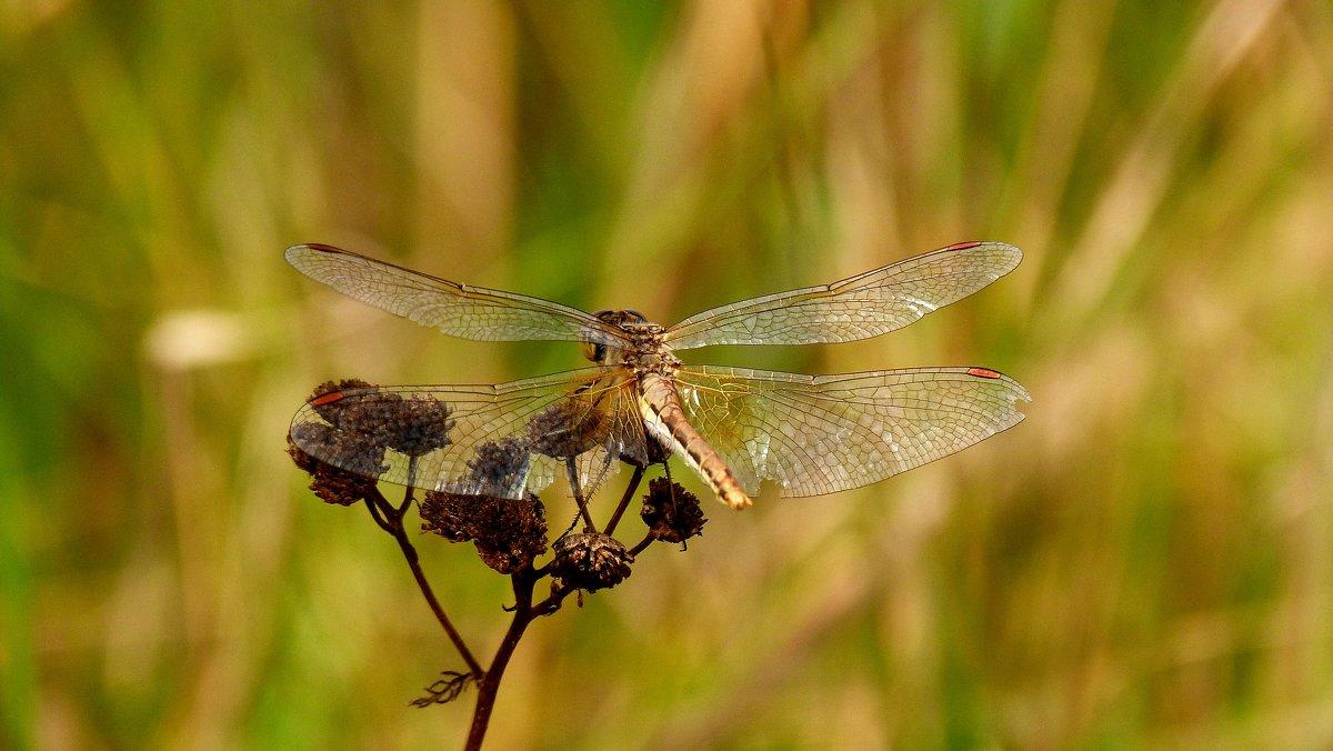 стрекозы сухой травы 2 - Александр Прокудин