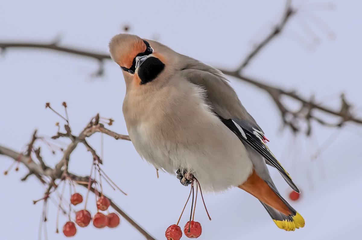 Свиристель сидит на ветке яблони. - Виктор Иванович