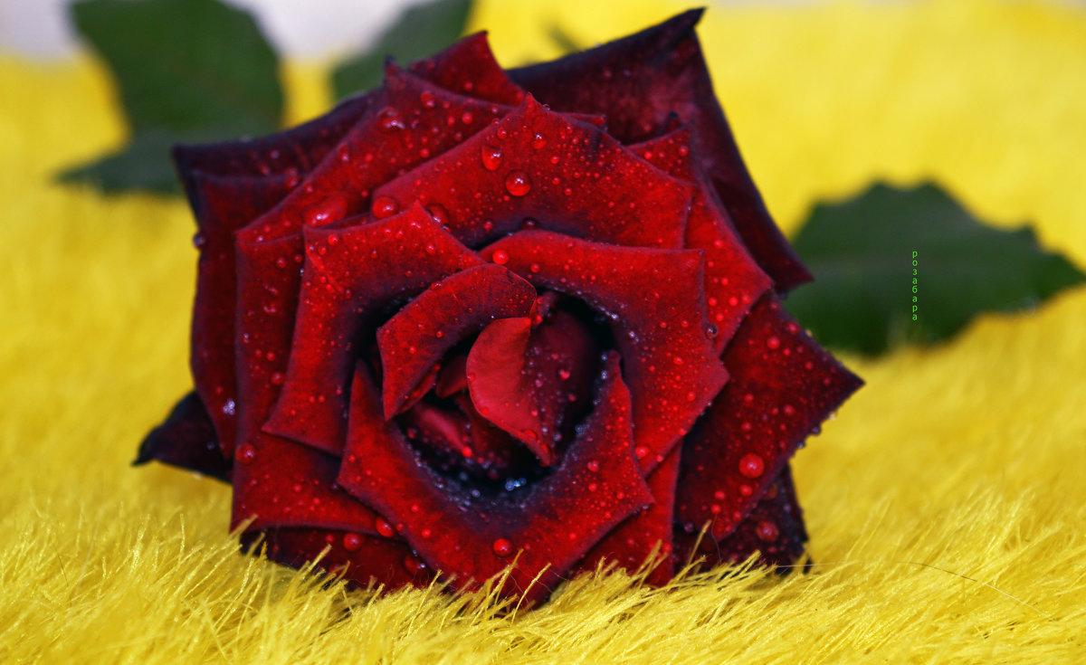 роза в меху)) - Роза Бара