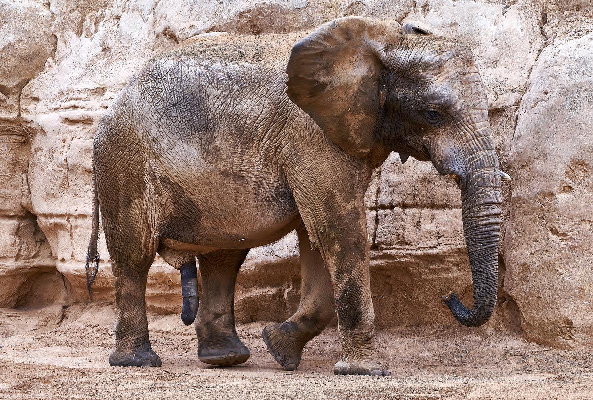 Слон - вадим