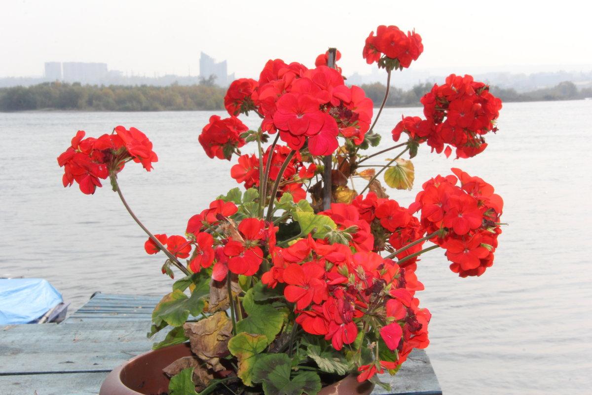 Герань радует цветами. - Андрей