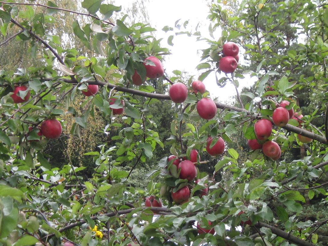 Яблоки - Маера Урусова