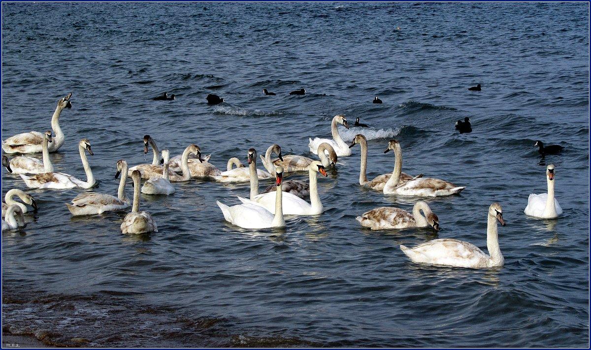 Лебеди - Вера