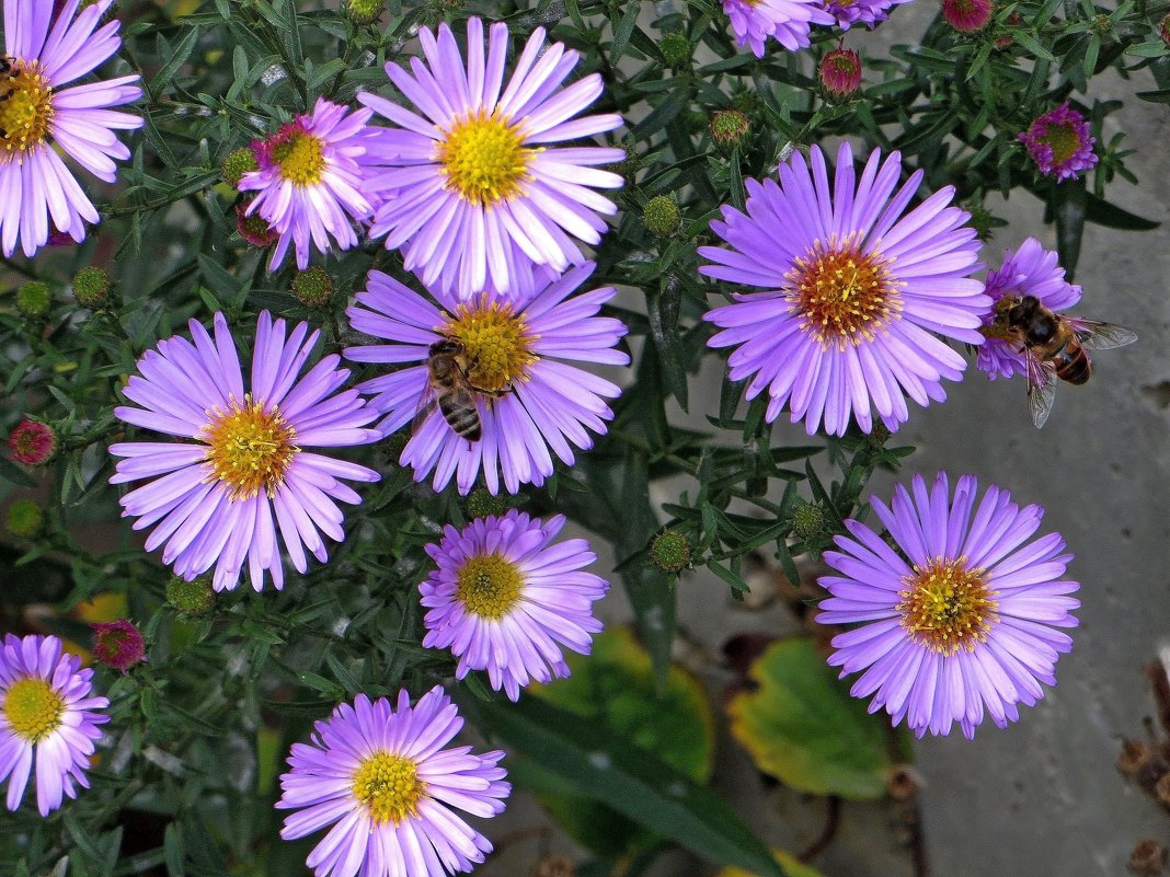 Смотрю на цветы сентябринки - Татьяна Смоляниченко