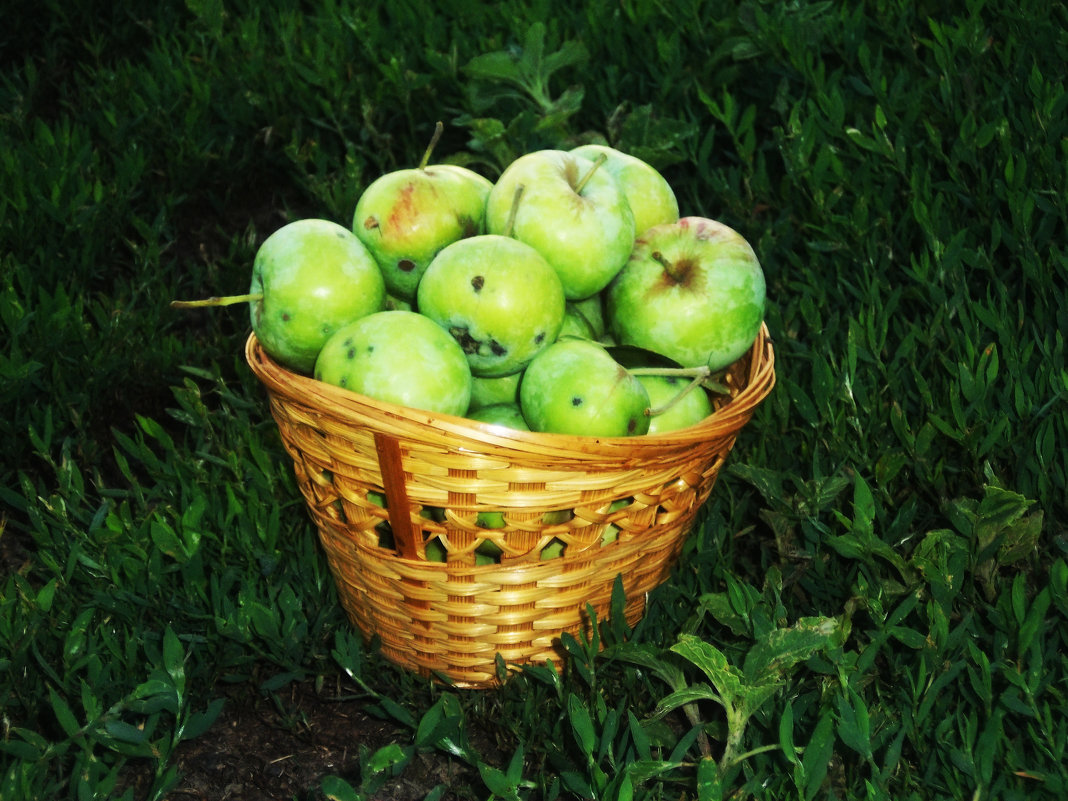 Корзинка яблок - Татьяна Королёва
