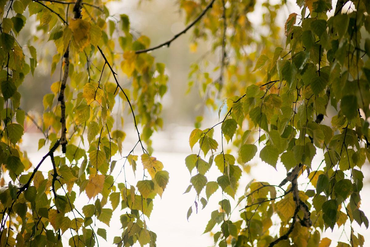 Зеленые березки на снежном фоне. 9 октября. Сибирь. - Ольга
