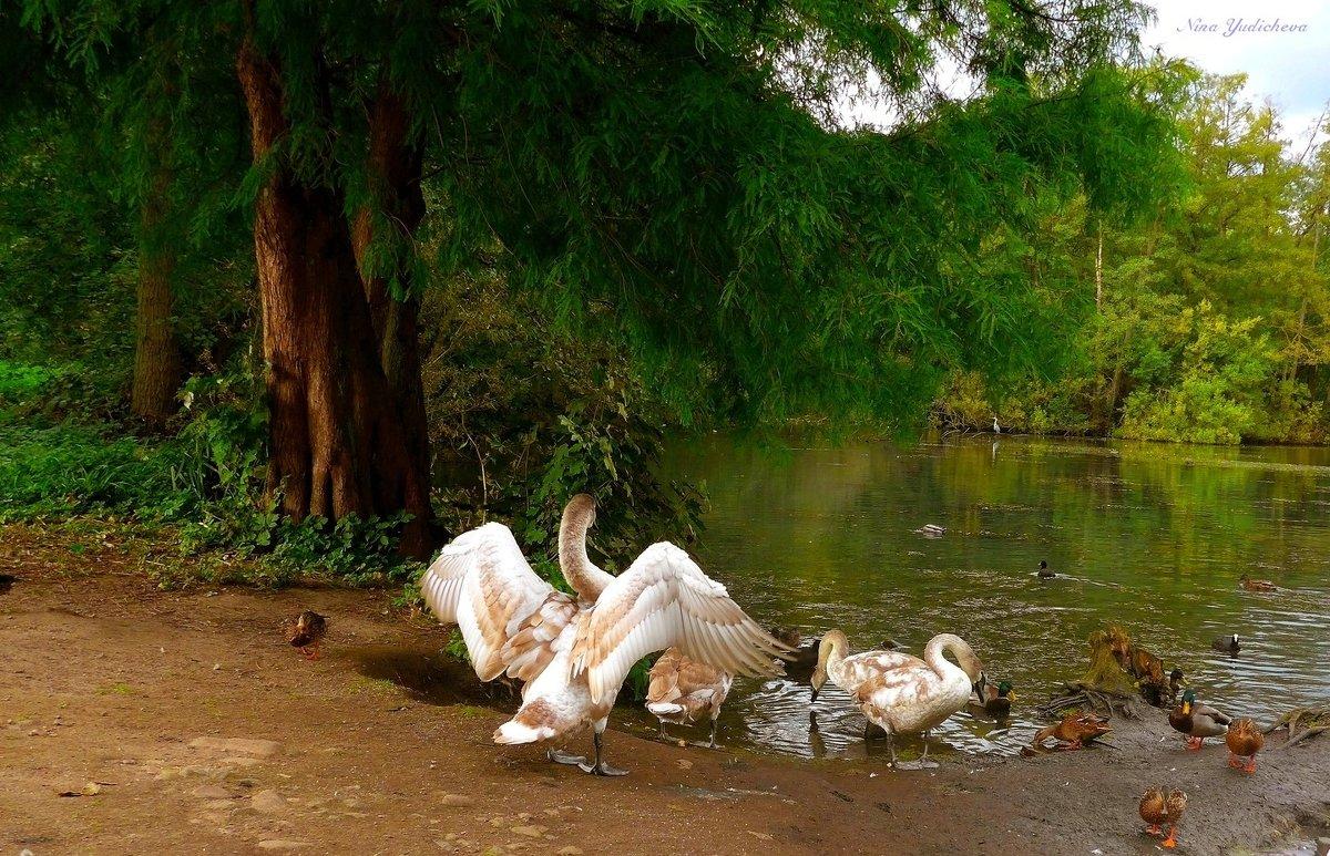 """Лебедь: """"Смотри, как я умею!"""" - Nina Yudicheva"""