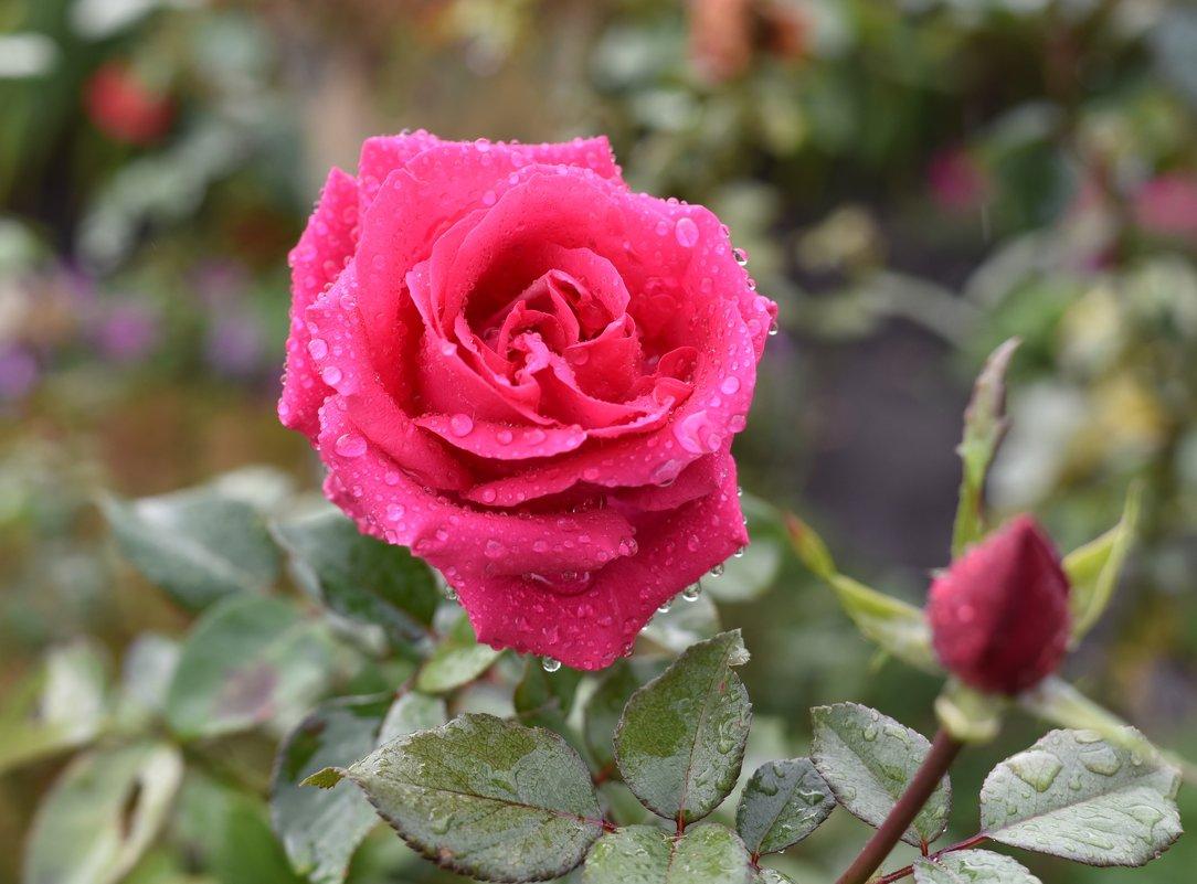 Роза - Роман