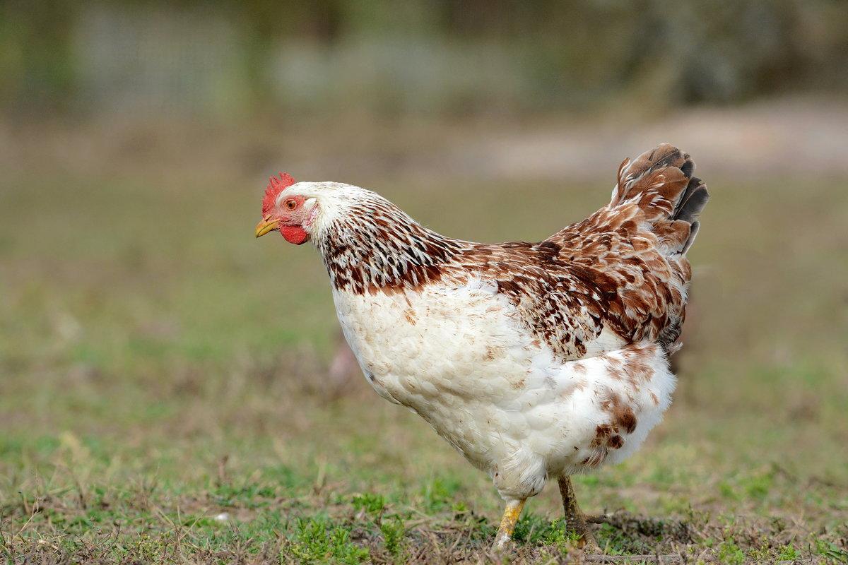 Курица тоже птица. - Светлана Ивановна Медведева