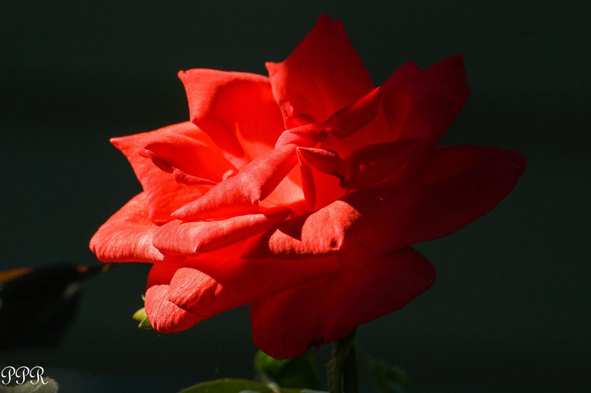 Роза - Павел Руденко