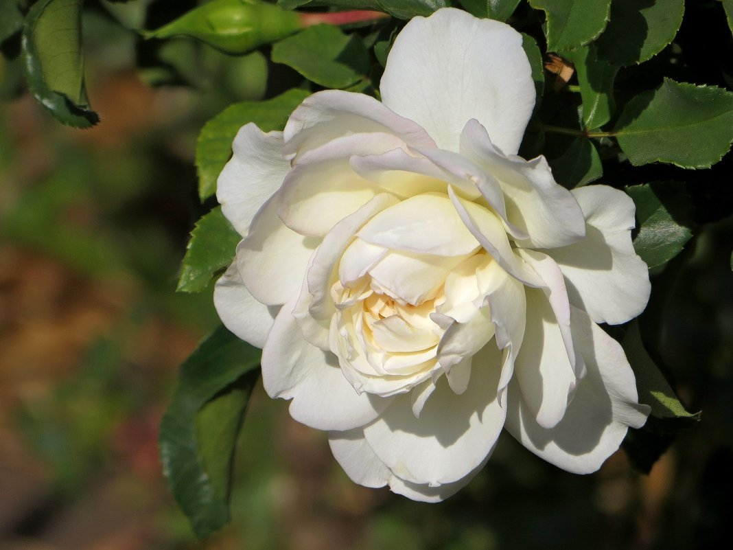 Белая роза - Татьяна Смоляниченко