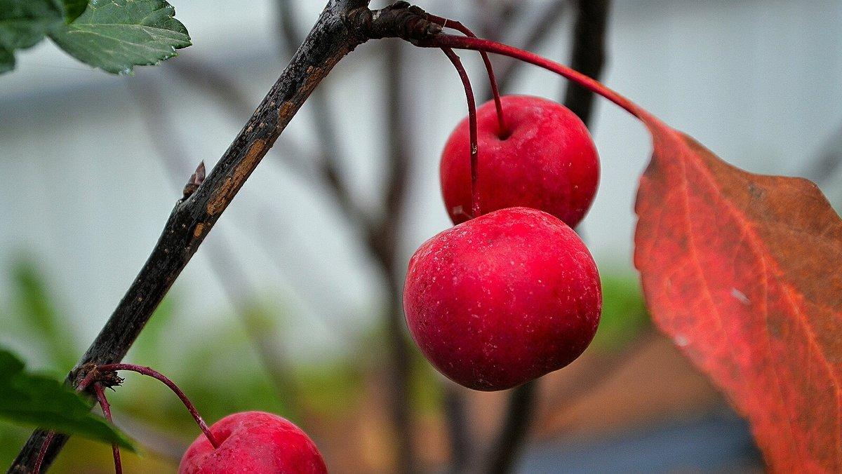 Райские яблочки - Милешкин Владимир Алексеевич