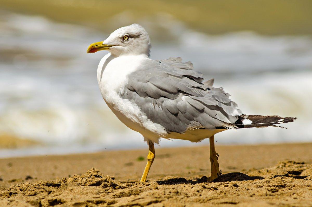 Черноморская чайка - Андрей Щетинин