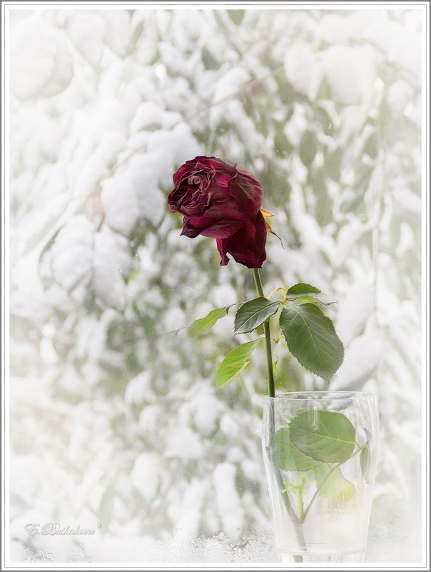 Роза на окне - Елена Баскакова