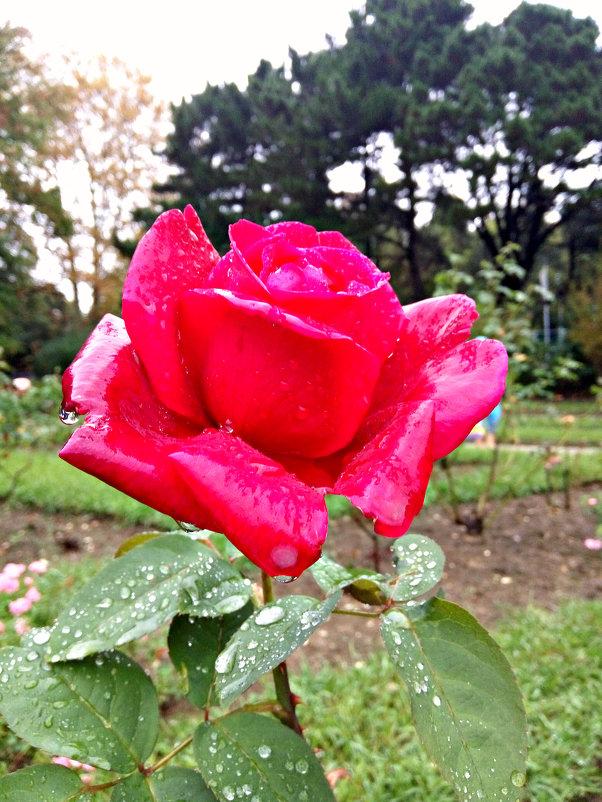 красавица розочка после дождя - Антонина Владимировна