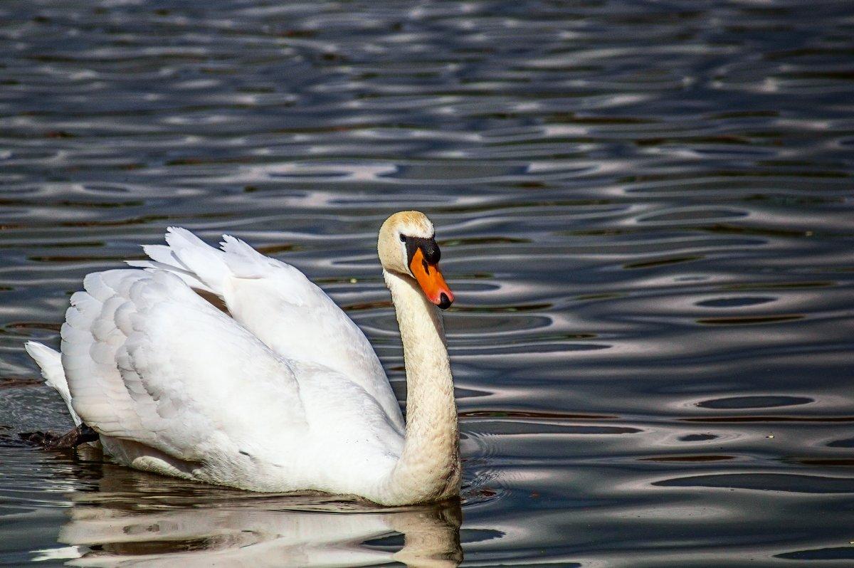 Лебедь - олег