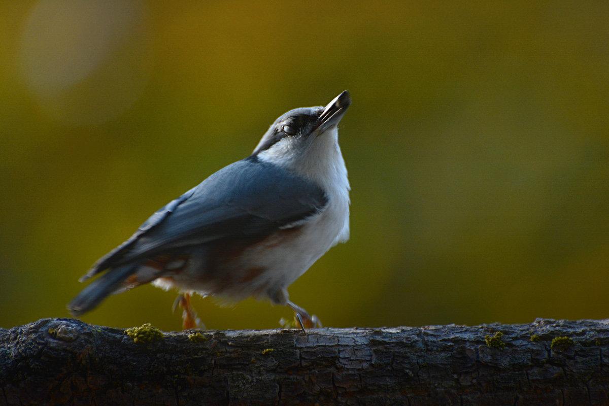 поползень - linnud