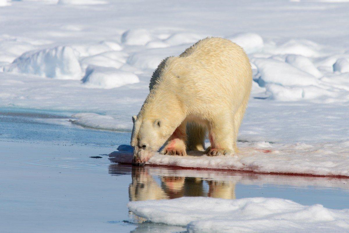 Белый медведь - Alexey alexeyseafarer@gmail.com