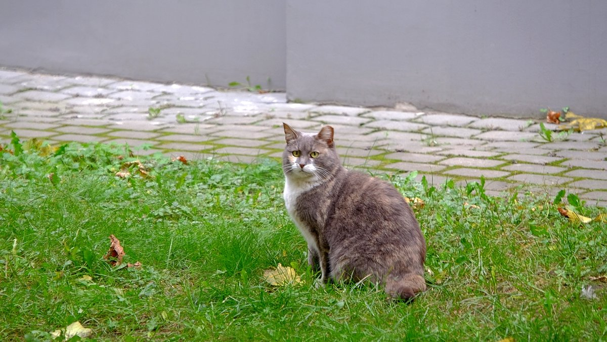 Рижский кот - Swetlana V