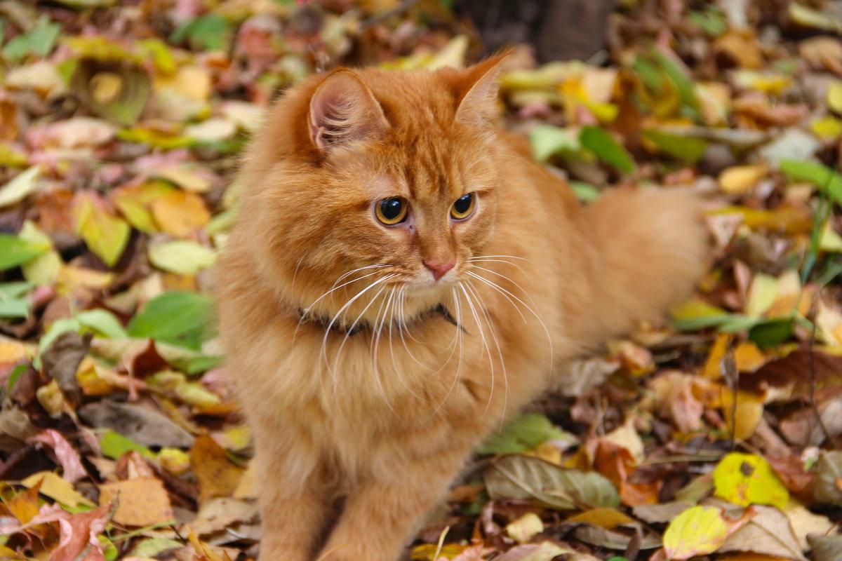 Осенний кот - Краснов  Ю Ф