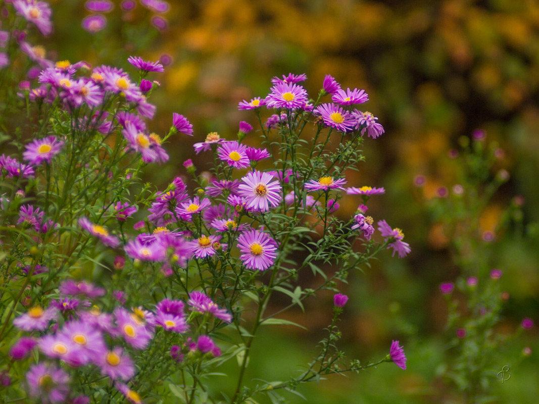 Поздние цветы - Виталий