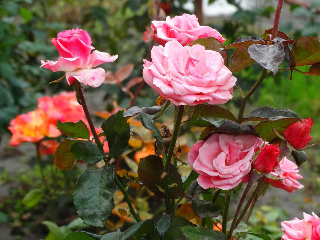 Благоухают осенние розы... - Тамара (st.tamara)