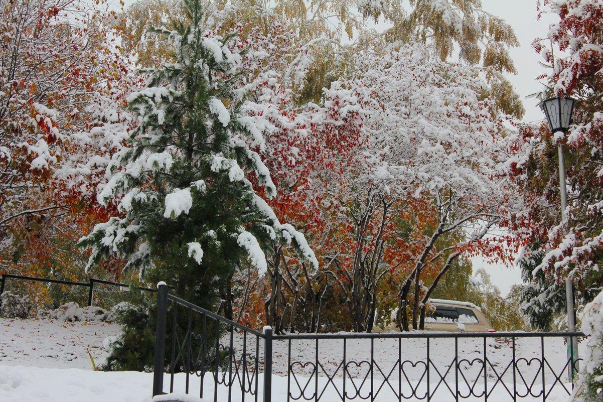 Ель и рябины под первым снегом. - Наталья Золотых-Сибирская
