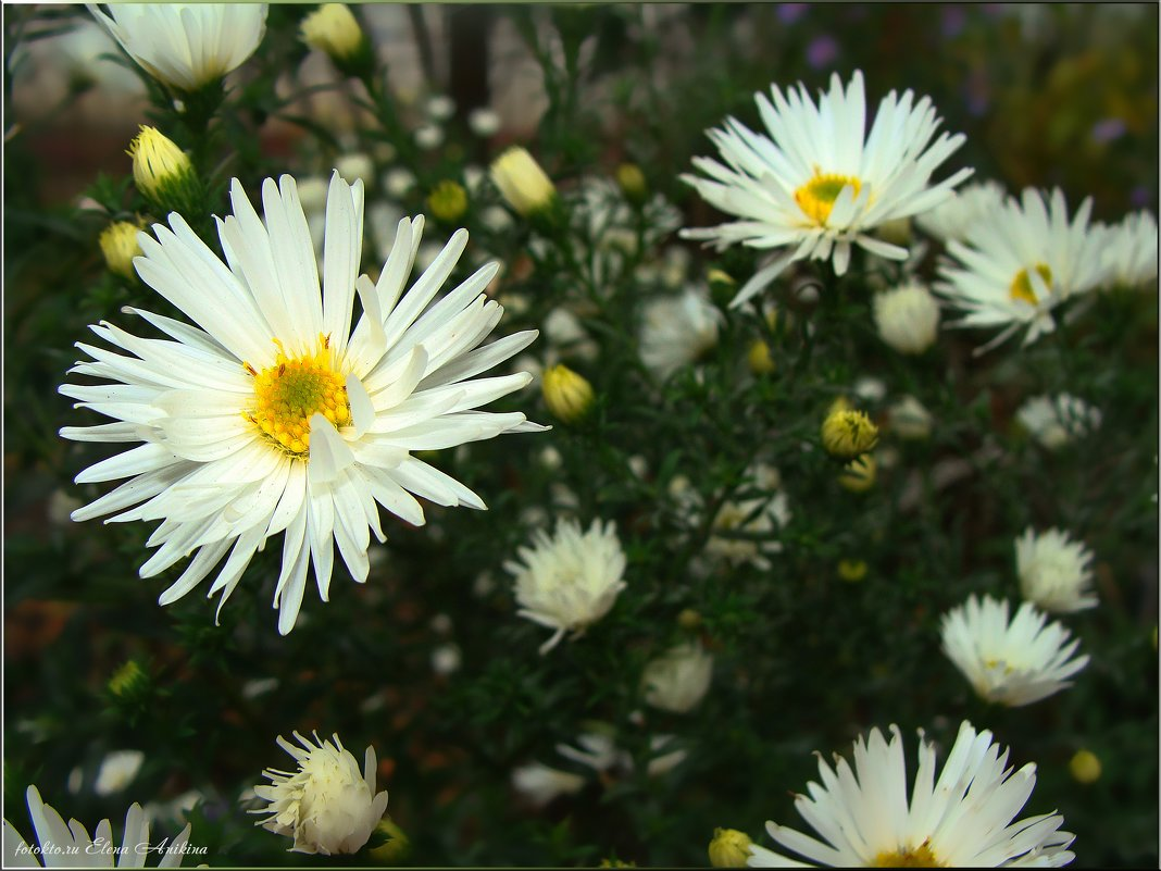 Горький запах хризантем - °•●Елена●•° Аникина♀
