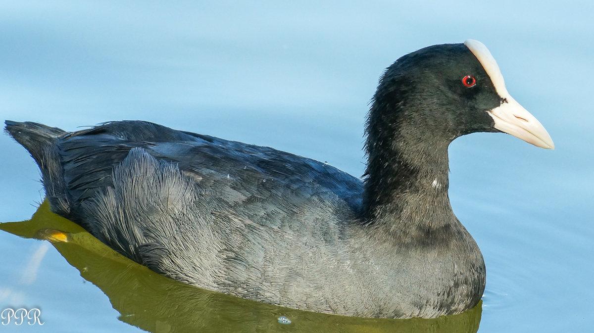 фото птица лысуха