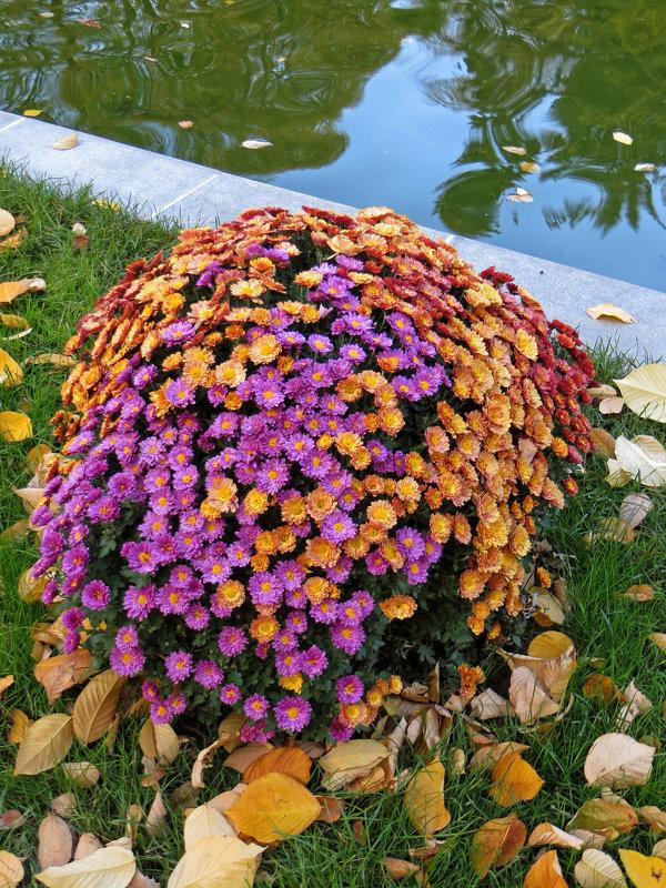 Хризантемы - татьяна петракова