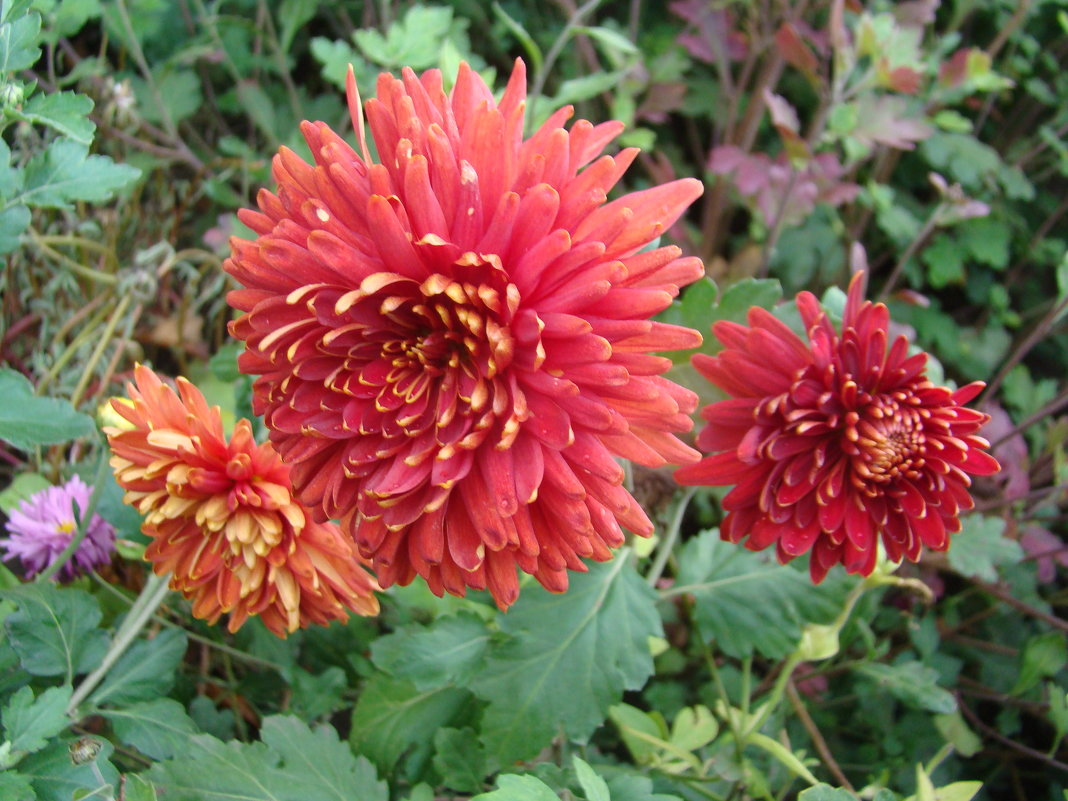 Хризантемы - марина ковшова