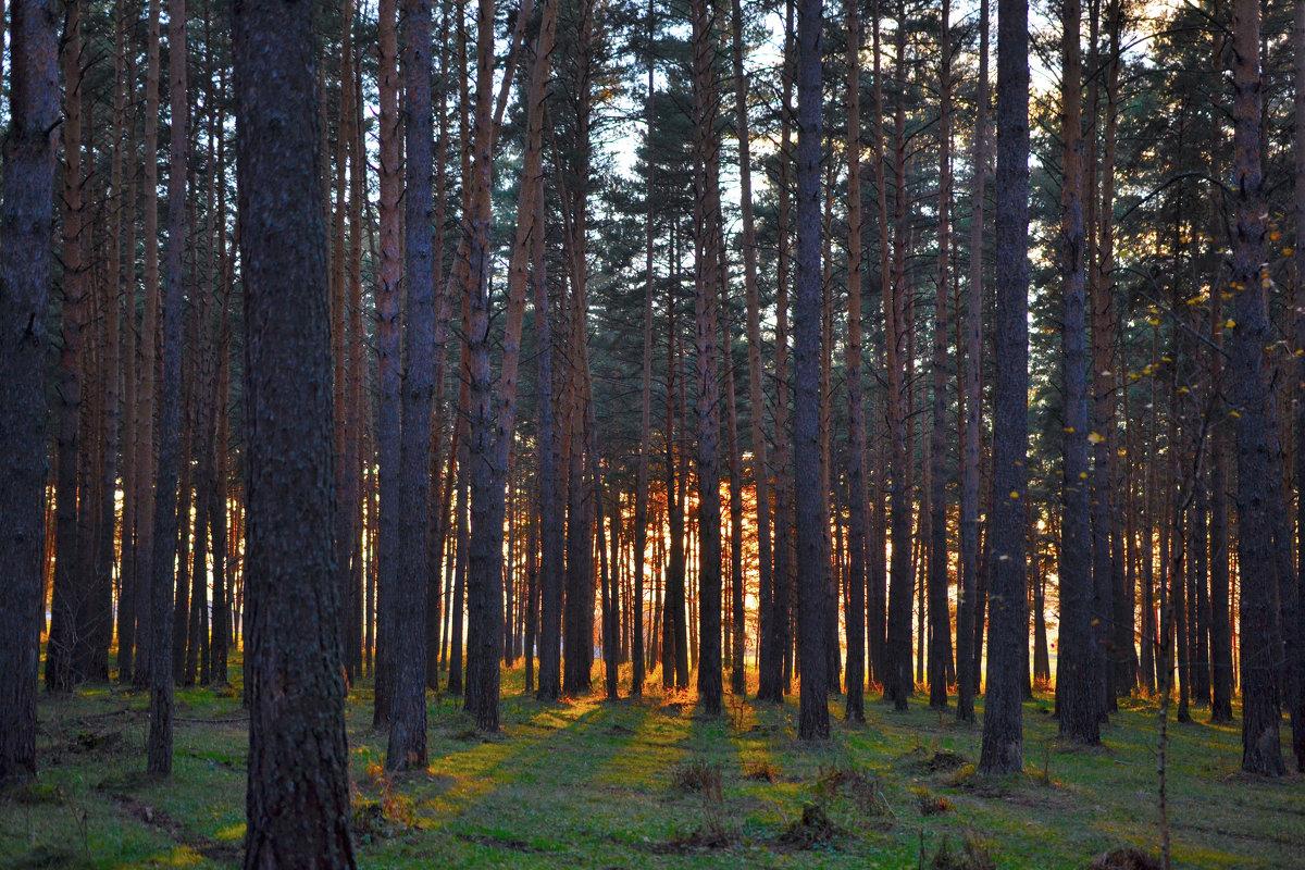 Закат в сосновом лесу. - Роберт Хак.....