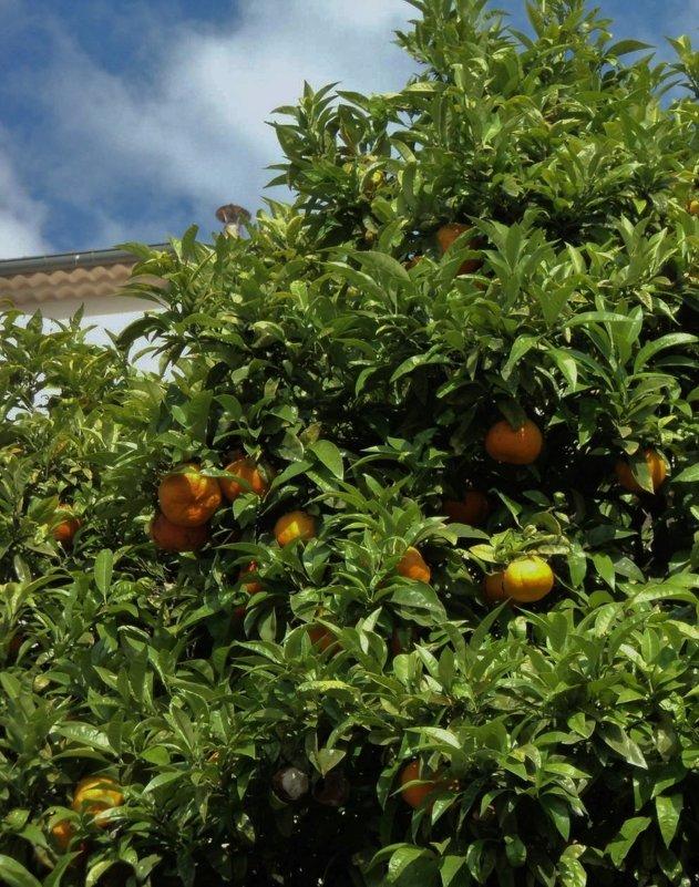 мандарины - kuta75 оля оля