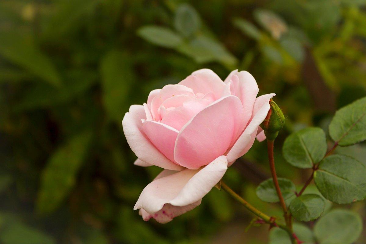 Роза - Александр