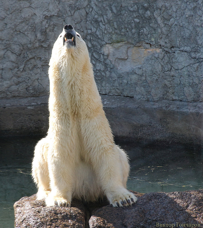 белый медведь - Laryan1